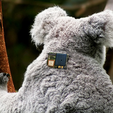 Telit Technology Helps Conservationists Track Koalas And Monitor Their Welfare