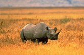 First black rhinos protected by sensor-implants in horns