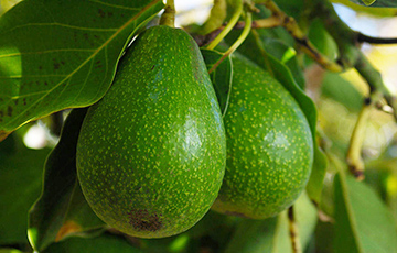 Semtech's LoRa® Devices Boost Crop Yield on Connected Avocado Farms