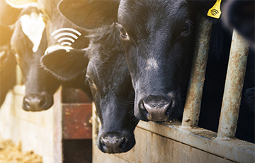 Semtech and SK Telecom Leverage LoRa Technology to Monitor Cattle Health