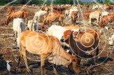 Semtech's LoRa Technology Monitors Cattle Health in Real-Time