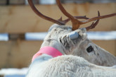 Cellular IoT ear tag tracks health and location of farmed reindeer and other herding animals