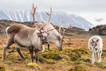 Globalstar IoT Solution Protects Norway's Reindeer from Train Collisions